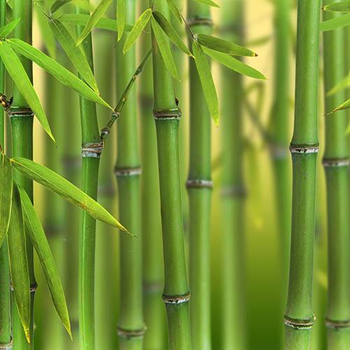 Phyllostachys bissettii (Green Bamboo) 5L 100-150cm
