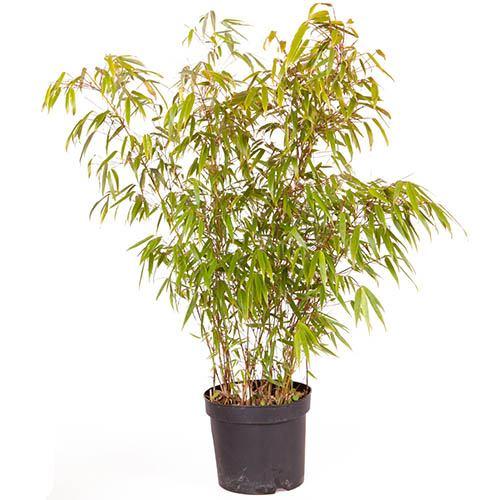 Fargesia rufa (Fountain Bamboo) 5L - 80-100cm