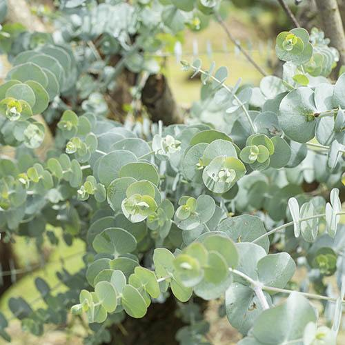 Eucalyptus gunnii Little Boy Blue