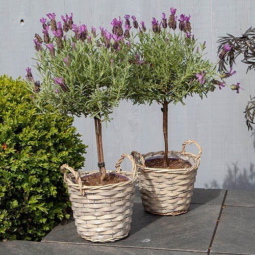 Pair of French Lavender Mini Standards in wicker