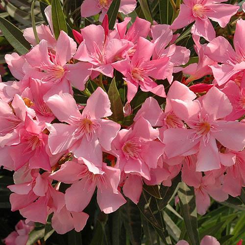 Pink Variegated Leaf Oleander Half standard 65cm