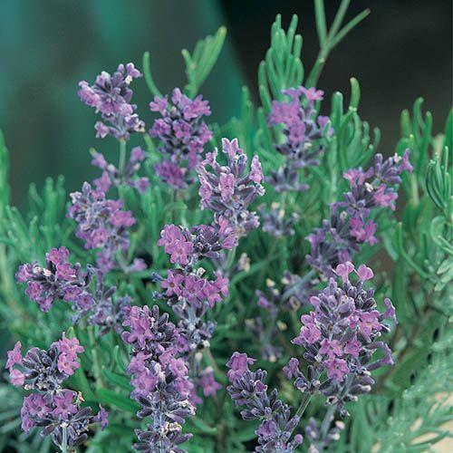 Lavender intermedia Standard