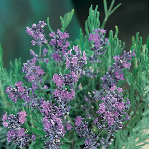 Pair of Standard Lavenders