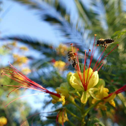 Caesalpinia gillessii - Yellow Bird of Paradise