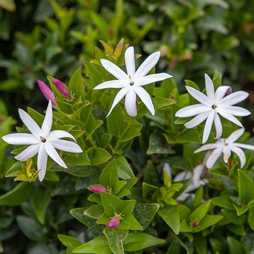 Starry Wild Jasmine