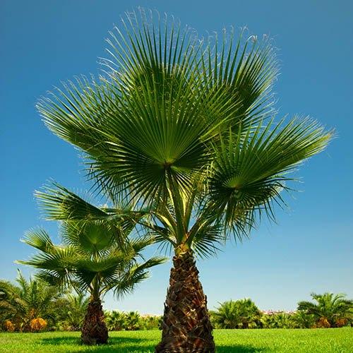 Pair of Washingtonia Palms with Pinecone Planters