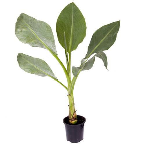 Musella lasiocarpa 24cm pot 1M+ tall