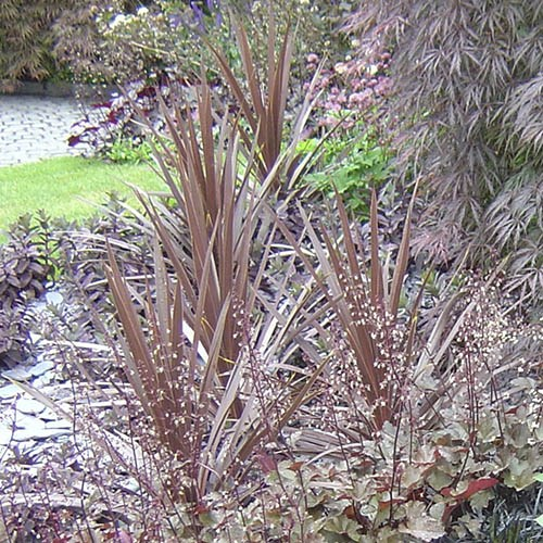 Pair of Cordyline Red Star Plants