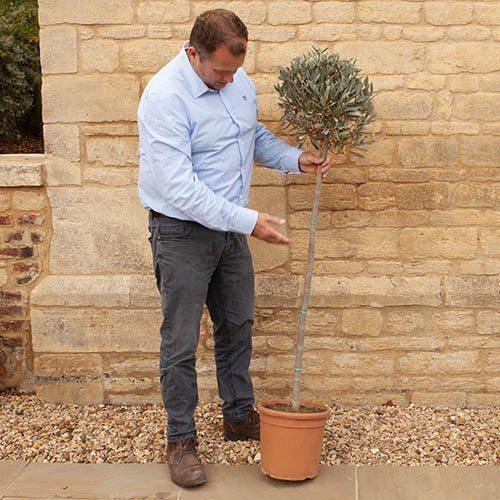 Large Standard Olive Tree 1.4m