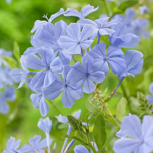 Plumbago capensis 'Cape Leadwort'