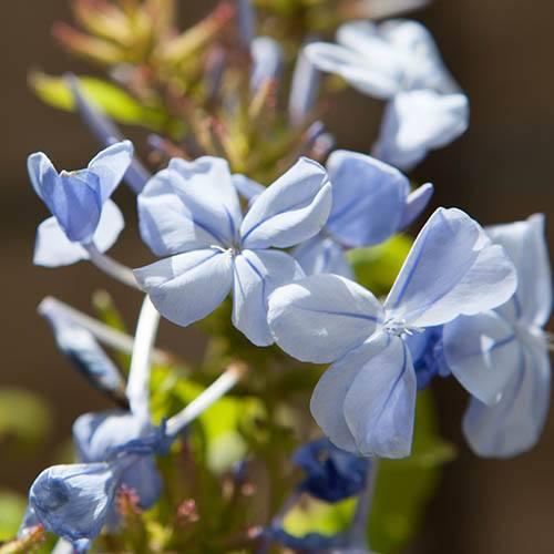 Plumbago capensis 'Cape Leadwort'