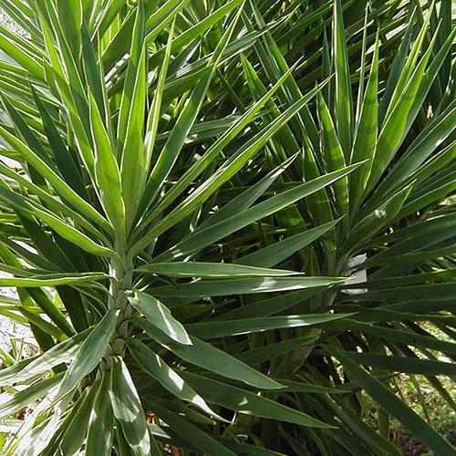 Yucca Elephantipes Jewel