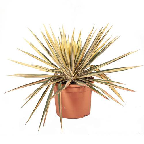 Yucca filamentosa Colour Guard Needle Palm