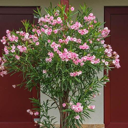 Pink Oleander Bush 1-1.2m