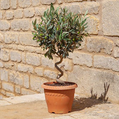Patio Spiral Stem Olive in Decorative Pot