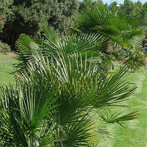 Trachycarpus fortunei Hardy Chusan Palm