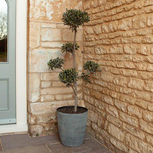 Cloud Pruned Pom Pom Topiary Olive tree