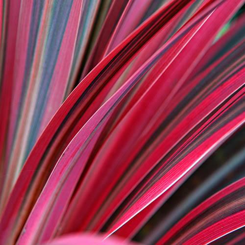 Cordyline Pink Passion