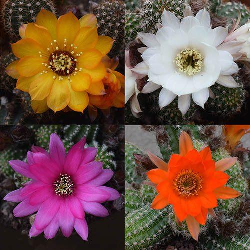 Chamaelobivia Mixed Hardy Peanut Cactus