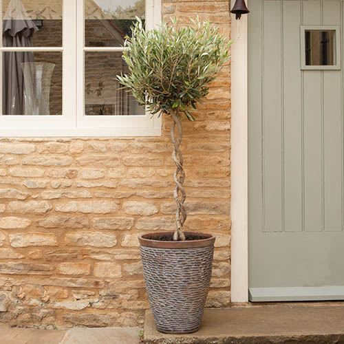 Double Spiral Standard Olive Tree