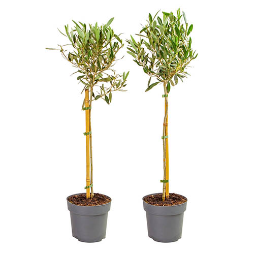 Pair of Olive Standards