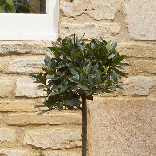 Bay Tree Standard 70-80cm tall