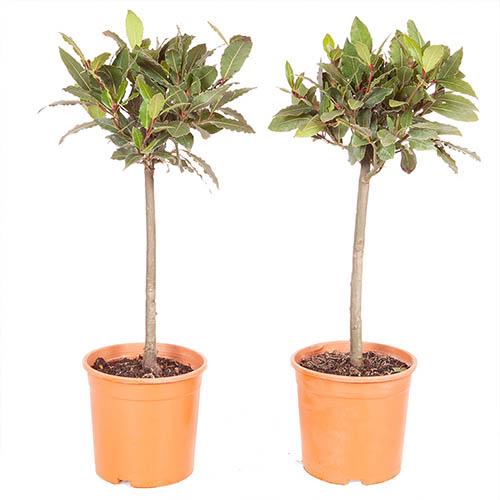 Pair of Standard Bay Trees