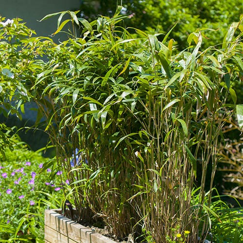 Pair of Pseudosasa japonica (Arrow bamboo)