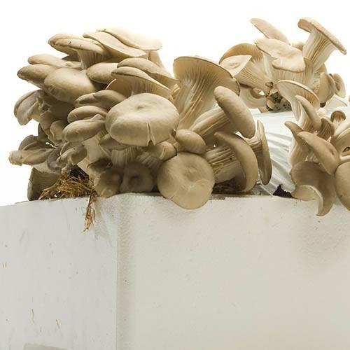 Shiitake Mushroom Kit