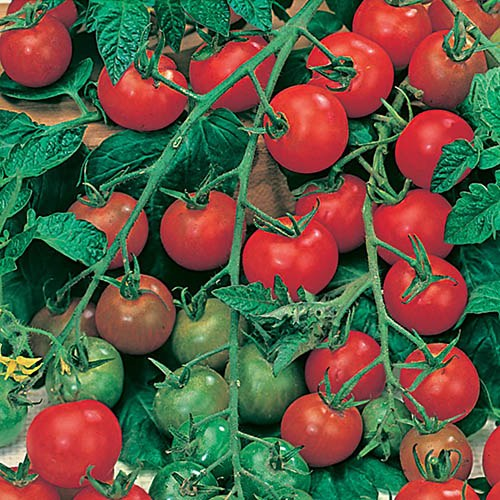 Tomato Gardeners Delight Seeds