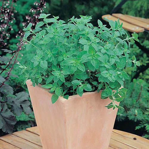 Oregano (Greek) Seeds