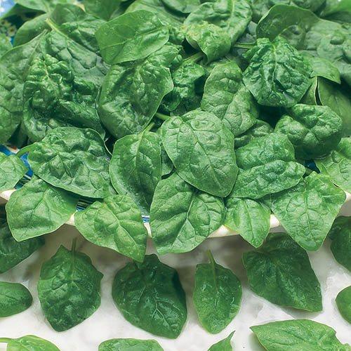 Spinach Samish F1 Seeds