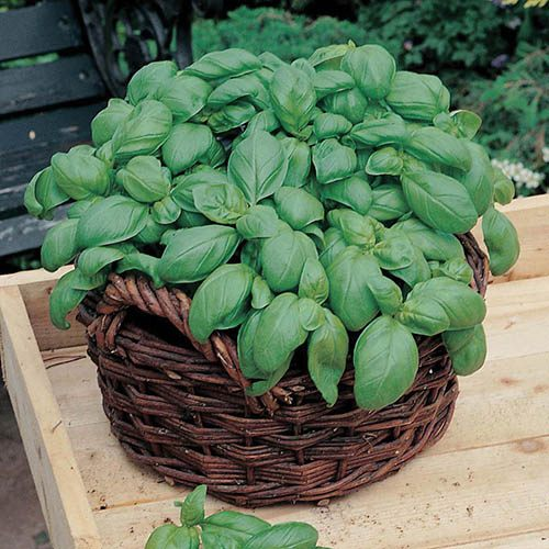 Basil Sweet Seeds