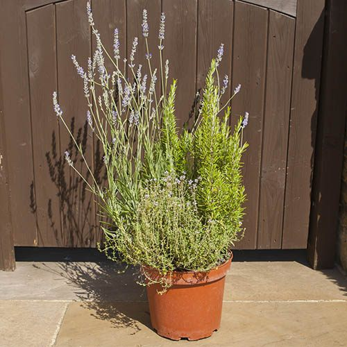 Herb Trio Pot - 3 varieites in one pot