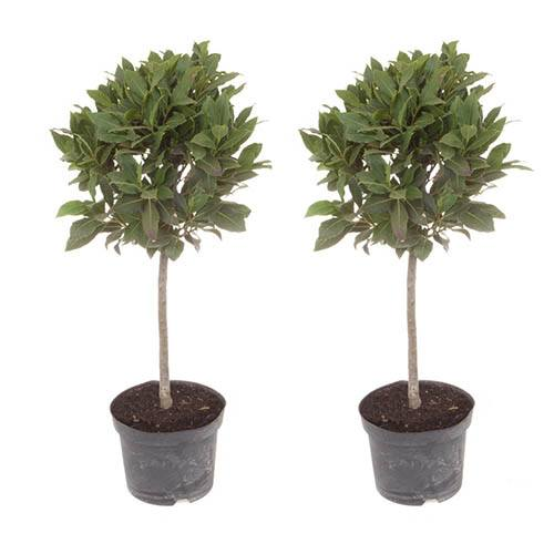 Pair Half Standard Bay Trees