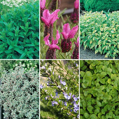 Garden Ready Herb Collection x 6 Plants