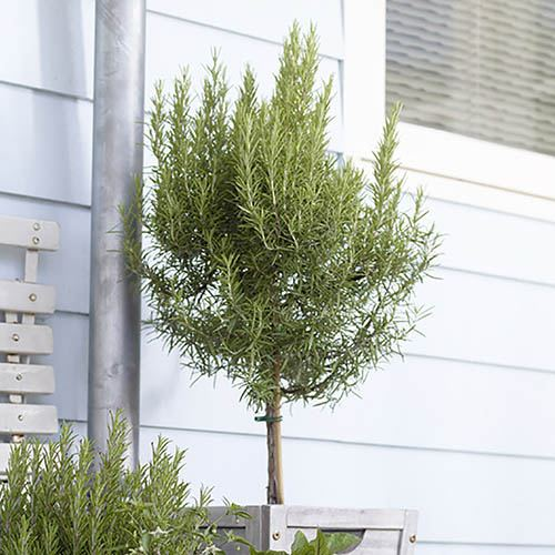 Rosemary Standard 80-100cm Tall in a 4L Pot