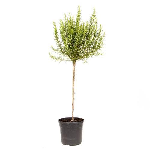 Rosemary Standard 80-100cm Tall in a 3L Pot