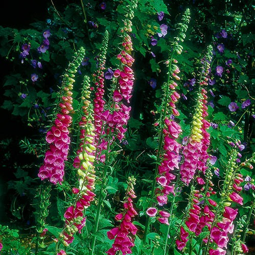 Wildflower Wild Foxglove Digitalis Purpurea