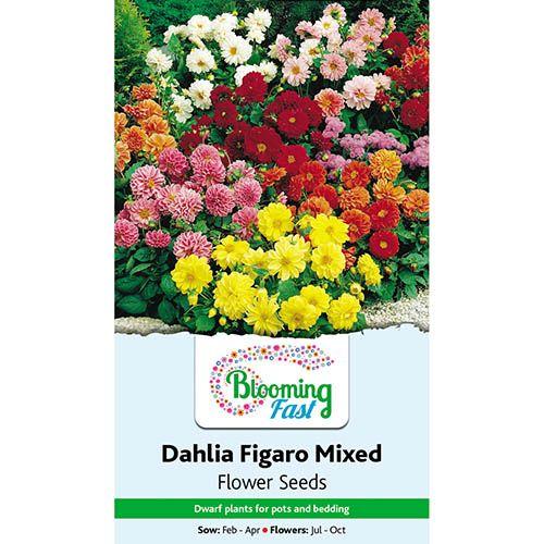 Dahlia Figaro Mixed Seeds