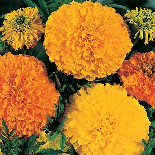 Marigold (African) Crackerjack Seeds