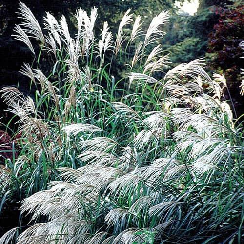 Silver Grass Miscanthus Sinensis Seeds