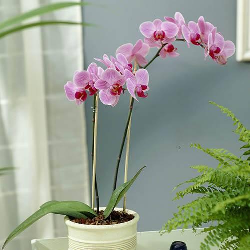 Phaleanopsis Moth Orchid 2 stem
