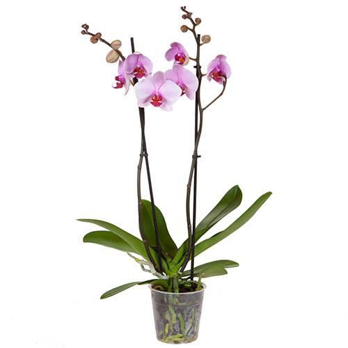 Phalaenopsis Moth Orchid 2 stem