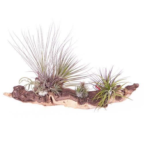 Mopani Wood Masterpiece Air Plant Kit