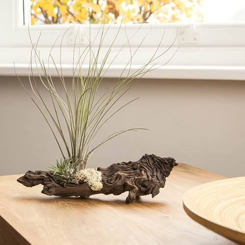 Grand Mopani Wood Air Plant Kit