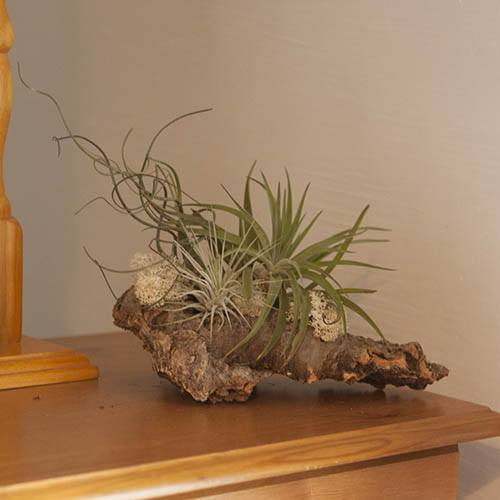 Luxury Cork Air Plant Kit