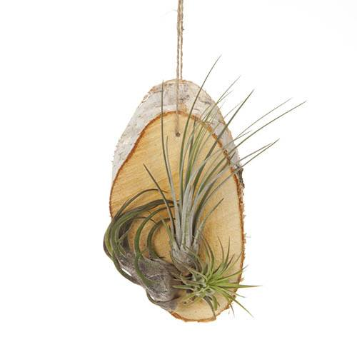 Hanging Birch Slice Air Plant Kit