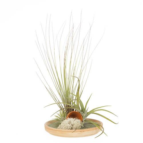 Mini Spanish Terracotta Terrace Air Plant Kit