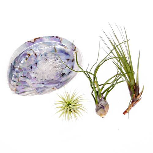Abalone Shell Air Plant Kit
